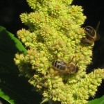 abeilles-2
