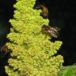 abeilles11
