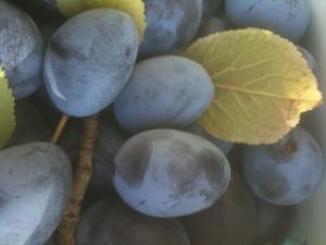 des prunes du jardin