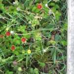 fraise-des-bois-dans-le-beton2