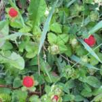 fraise-des-bois-plan-gene